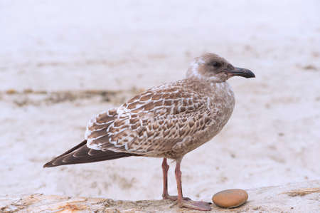 A young Pacific Seagull standing on a drift log with a rock near its feet at the beach.