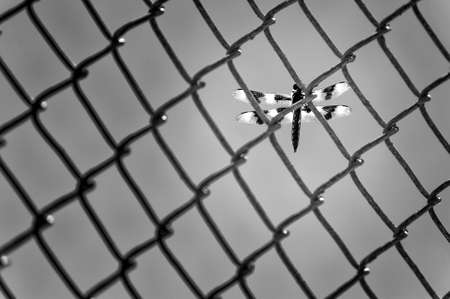 A black and white image of a dragon fly on a chainlink fence