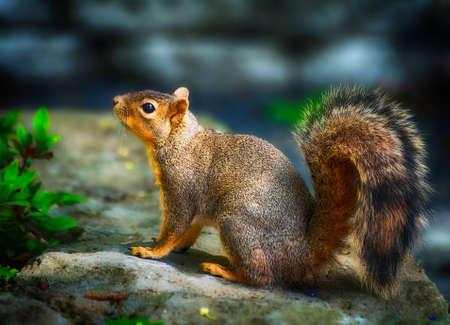 squirrel on a rock.