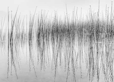 Black and white image of reflecting reeds in wateralsong a lake shore resembling a read-out from a seismograph. Imagens