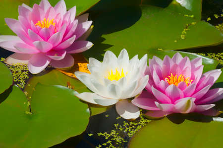 Pink and white waterlilies in a pond 스톡 콘텐츠