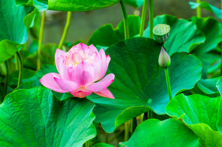 Closeup of a pink Lotus Flower surrounded by large green lotus leaves. 스톡 콘텐츠