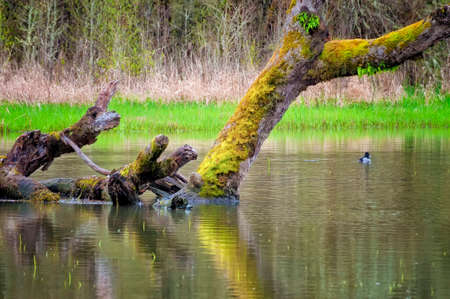 A Lesser Scaup duck floats near a down moss covered tree in a pond