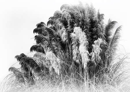 A black and white photography of frost laden pampas grass.