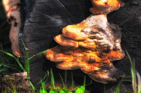 Fungi growning on a old stump. 스톡 콘텐츠