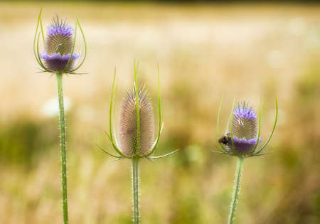 Closeup of three thistles and a bee
