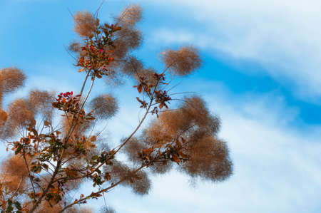 A branch of a smoke tree against a white clouds and blue skies.