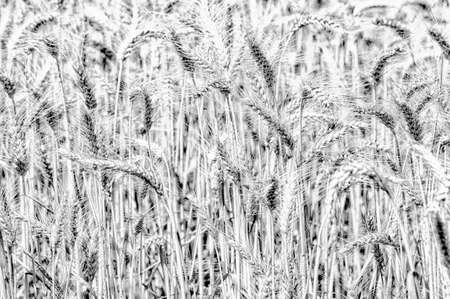 Black and white close-up of wheat stalks in a field 스톡 콘텐츠