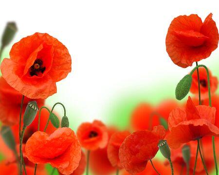stamens: beautiful red poppy