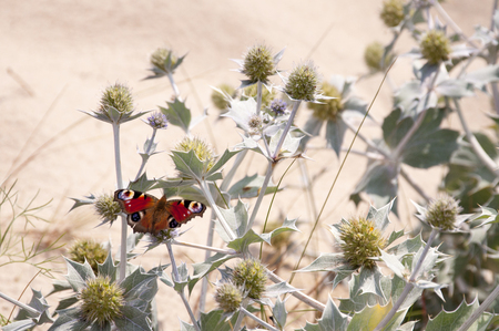 zygaena: sea holly and butterfly - Inachis io Stock Photo