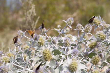 zygaena: sea holly and butterfly - Aglais urticae