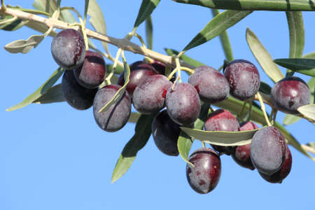 olive branch with ripe fruits
