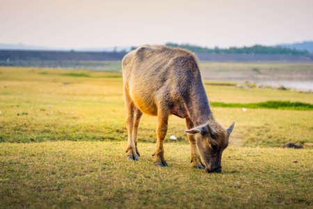 Asian buffalo eat grass on the field Фото со стока