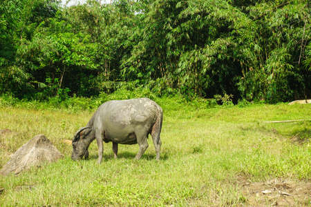 Wild water buffalo (Bubalus bubalis) grazing on a meadow. 版權商用圖片