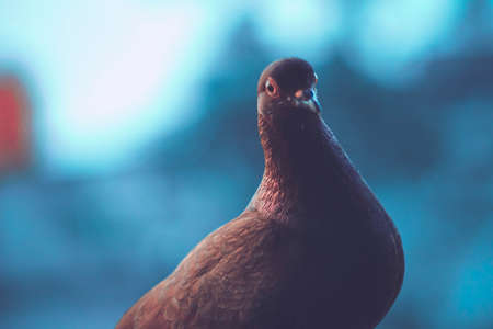 homing pigeon, racing pigeon or domestic messenger pigeon. closeup taking a break from its long flight