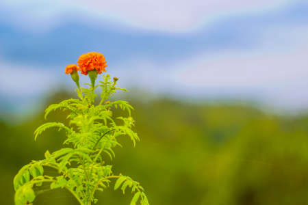 Beautiful orange marigold flower in the garden. selective focus and blur background