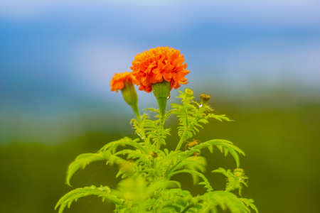 closeup of marigold orange flower. selective focus and blur background