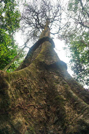 big fig tree in tropical forest Stok Fotoğraf