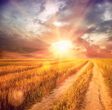 harvest field: sunny wheat field