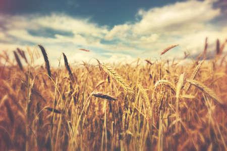 日当たりの良い麦畑 写真素材