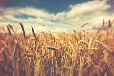 paesaggio: soleggiato campo di grano Archivio Fotografico