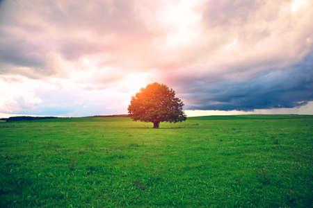 roble arbol: solo árbol de roble en el campo bajo el cielo soleado mágico Foto de archivo
