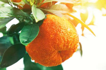 tangerine tree: Orange or tangerine on tree