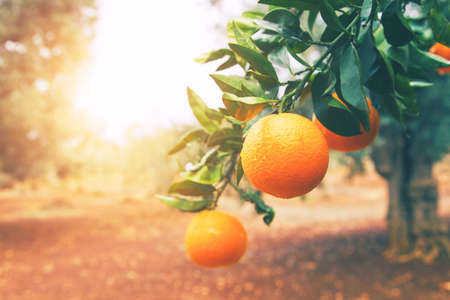 Oranger Banque d'images - 61919958