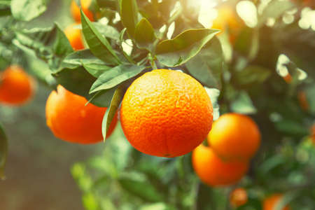 Sinaasappelboom Stockfoto - 61919965