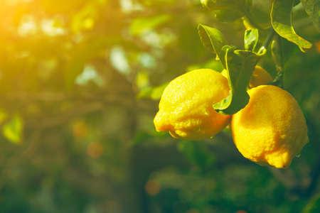 citrus tree: Lemon. Ripe Lemons hanging on tree. Growing Lemon Stock Photo