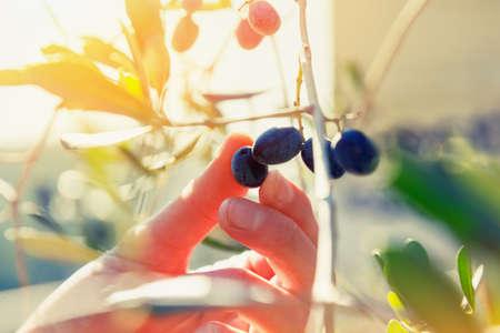 plant hand: gardener hand touching black olive on tree Stock Photo