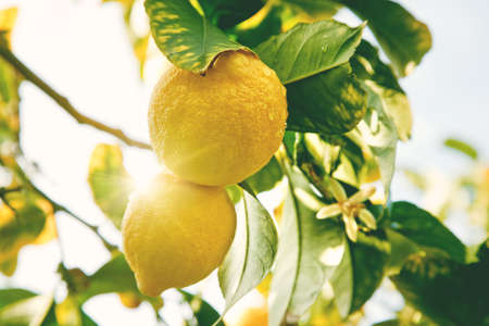 Lemon. Ripe Lemons hanging on tree. Growing Lemon Standard-Bild