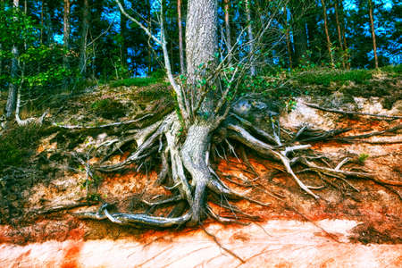 big old tree roots at forest Imagens