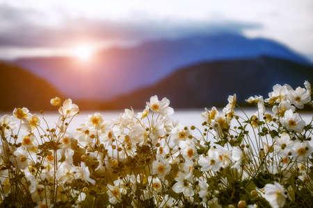 tender white flowers in sunlight in mountains