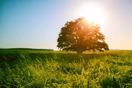 Magical sunrise or sunset over single tree in green field