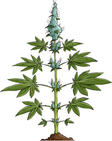 ganja: Cannabis sur un fond blanc, illustration vectorielle Illustration