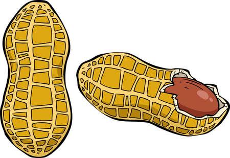 cacahuate: Cacahuetes en una ilustración de fondo blanco Vectores