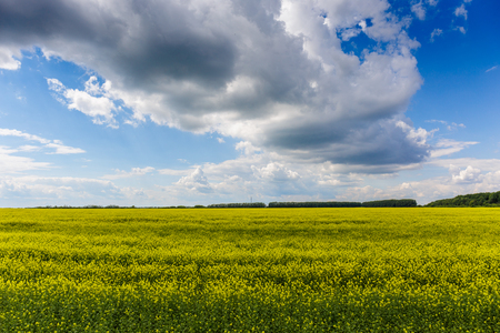canola: Yellow and green meadow in country side with bright cloud sky, beautiful agriculture landscape in springtime or summertime