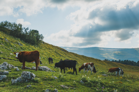 Cows grazing in fresh green meadows. Cattle on pasture in alpine mountains, toned