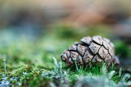Beautiful color Christmas pine cone on green  grass, selective focus with blurred nature background for copy space, macro photo Stock Photo