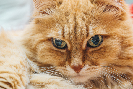 Funny cute Ginger or Rad Cat portrait, selective focus Stock Photo