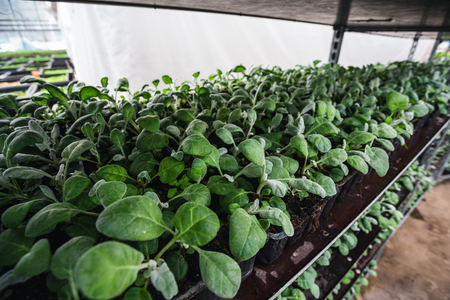 Cineraria in greenhouse or hothouse. Cultivating of plants for decorative gardening 免版税图像