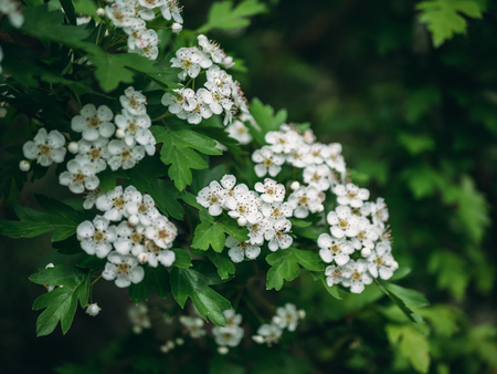 Hawthorn tree, white flowers blossom on spring green nature background, selective focus Stock Photo