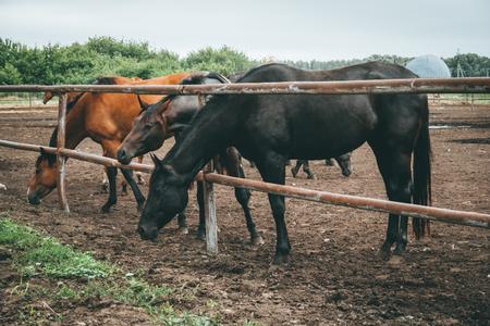 Beautiful horses eat hay in fence on farm, toned