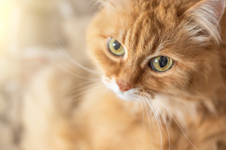Cute fluffy orange cat with big eyes looks at camera, copy space, toned