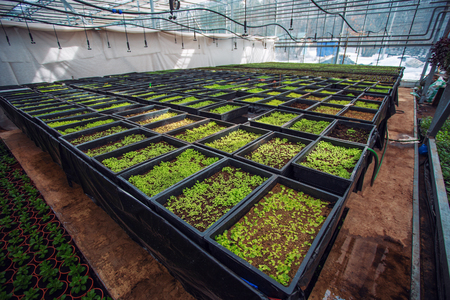 Ornamental plants and flowers grow for gardening in modern hydroponic greenhouse nursery or glasshouse, industrial horticulture, cultivation of seedlings technology 版權商用圖片
