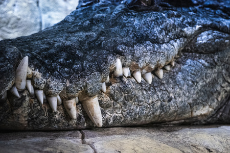 Alligator crocodile big tooth and muzzle, close up. Dangerous reptile, toned