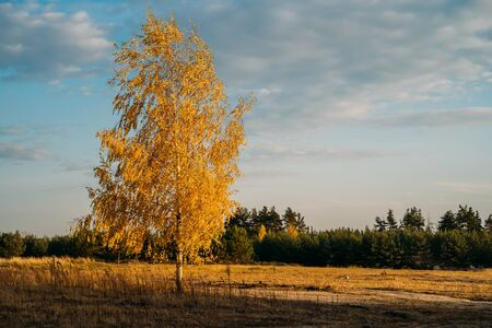 Birch tree with yellow-gold leaves in autumn field, beautiful warm October or November day.