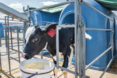 Black and white holstein calf in calf-box on dairy farm.
