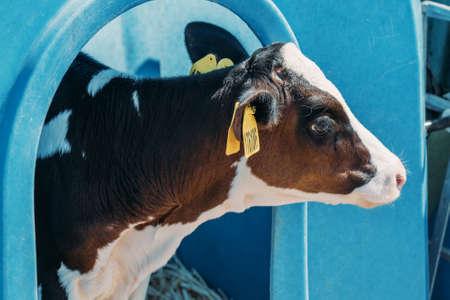 Young cute calf in box or calf-houses at dairy farm. Breeding cattle. 版權商用圖片